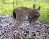 5F1A4891_Deer_.jpg