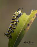 5F1A5252_Monarch_Cat_.jpg