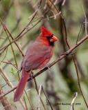 5F1A5754._Northern_Cardinal_jpg.jpg