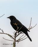 5F1A5757_Redwing_Blackbird_.jpg