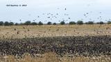 5F1A5940_million_blackbirds_.jpg