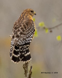 5F1A5760_Redshouldered_Hawk_.jpg