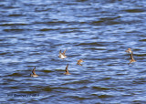 5F1A5990_Semipalmated_Sandpipers_.jpg