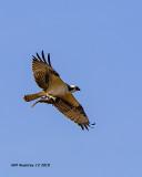 5F1A6032_Osprey_.jpg