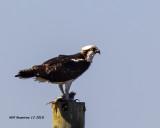 5F1A6171_Osprey_.jpg