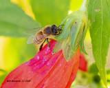 5F1A6457_Honey_Bee_.jpg
