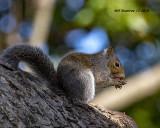 5F1A6492_Gray_Squirrel_.jpg