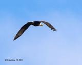 5F1A6950_Bald_Eagle_.jpg