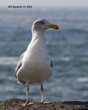 5F1A6959_Western_Gull_.jpg