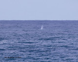 5F1A7007_possible_Gray_Whale_.jpg