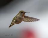 5F1A7164_Annas_Hummingbird_.jpg