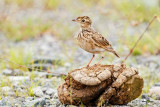 Oriental Skylark (Alauda gulgula, resident)  Habitat - Uncommon in open country on the ground.  Shooting info - San Roque, San Manuel, Pangasinan, Philippines, July 4, 2017, EOS 7D MII + EF 400 f/4 DO II + EF 1.4x TC III, 560 mm, 1/400 sec, f/6.3, ISO 320, manual exposure in available light, hand held, uncropped full frame resized to 1500 x 1000.