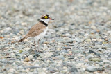 Little Ringed-Plover (Charadrius dubius, migrant)  Habitat - Common, from ricefields to river beds.   Shooting info - San Roque, San Manuel, Pangasinan, Philippines, July 4, 2017, EOS 7D MII + EF 400 f/4 DO II + EF 1.4x TC III, 560 mm, 1/320 sec, f/7.1, ISO 320, manual exposure in available light, hand held, near full frame resized to 1500 x 1000.