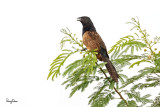 Lesser Coucal (Centropus bengalensis philippinensis, endemic race)  Habitat - Grassland and open country.   Shooting info - San Roque, San Manuel, Pangasinan, Philippines, July 4, 2017, EOS 7D MII + EF 400 f/4 DO II + EF 1.4x TC III, 560 mm, 1/400 sec, f/6.3, ISO 320, manual exposure in available light, hand held, major crop resized to 1500 x 1000.