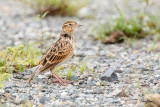 Oriental Skylark (Alauda gulgula, resident)  Habitat - Uncommon in open country on the ground.  Shooting info - San Roque, San Manuel, Pangasinan, Philippines, July 4, 2017, EOS 7D MII + EF 400 f/4 DO II + EF 1.4x TC III, 560 mm, 1/400 sec, f/6.3, ISO 320, manual exposure in available light, hand held, near full frame resized to 1500 x 1000.