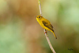 Citrine Canary-Flycatcher (Culicicapa helianthea septentrionalis, endemic race)