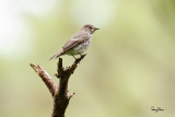 Grey-streaked Flycatcher (Muscicapa griseisticta, migrant)