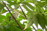 Pygmy Flowerpecker (Dicaeum pygmaeum, a Philippine endemic)  Habitat – Forest, edge and second growth.  Shooting info – extracted from a 3840 x 2160 (4K) footage, filmed in natural habitat at Bued River, Northern Philippines on July 24, 2018, Sony RX10 Mark IV + Uniqball UBH45 + Manfrotto 455B tripod,  600 mm (equiv.), f/5.6, ISO 200, 1/60 sec, manual exposure in available light, manual focus, Steadyshot off.