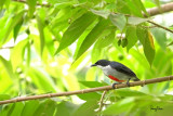 Red-keeled Flowerpecker (Dicaeum australe, a Philippine endemic, adult)  Habitat - Canopy of forest, edge and flowering trees.  Shooting info – extracted from a 3840 x 2160 (4K) footage, filmed in natural habitat at Bued River, Northern Philippines on July 27, 2018, Sony RX10 Mark IV + Uniqball UBH45 + Manfrotto 455B tripod,  600 mm (equiv.), f/5.6, ISO 200, 1/60 sec, manual exposure in available light, manual focus, Steadyshot off.