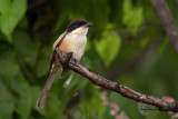Long-tailed Shrike (Lanius schach, resident)   Habitat - Open country and scrub.   Shooting info - Bued River, La Union, northern Philippines, September 17, 2018, frame grab from a 4K video capture, Sony RX10 Mark IV + Uniqball UBH45 + Manfrotto 455B tripod,  600 mm (equiv.), f/5, ISO 100, manual exposure, near full frame resized to 1500 x 1000.
