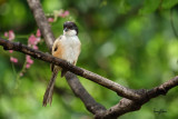 Long-tailed Shrike (Lanius schach, resident)   Habitat - Open country and scrub.   Shooting info - Bued River, La Union, northern Philippines, September 21, 2018, Sony RX10 Mark IV + Uniqball UBH45 + Manfrotto 455B tripod,  600 mm (equiv.), f/4.5, ISO 100, 1/160 sec, manual exposure, ARW capture, near full frame resized to 1575 x 1050.