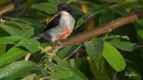 Red-keeled Flowerpecker (Dicaeum australe, a Philippine endemic)  Habitat - Canopy of forest, edge and flowering trees.  Shooting info - Bued River, La Union, northern Philippines, September 25, 2018, frame grab from a 4K video capture, Sony RX10 Mark IV + Uniqball UBH45 + Manfrotto 455B tripod, 600 mm (equiv.), f/8, ISO 100, 1/60 sec, manual exposure, near full frame resized to 1280 x 720.
