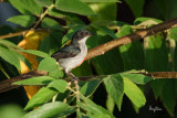 Red-keeled Flowerpecker (Dicaeum australe, a Philippine endemic)  Habitat - Canopy of forest, edge and flowering trees.  Shooting info - Bued River, Rosario, La Union, Philippines, September 25, 2018, Sony RX10 Mark IV + Uniqball UBH45 + Manfrotto 455B tripod, 600 mm (equiv.), f/5.6, ISO 100, 1/500 sec, manual exposure, ARW capture, near full frame resized to 1500 x 1000.