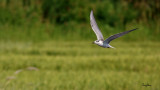 Whiskered Tern (Chlidonias hybridus, migrant, non-breeding plumage)  Habitat - Bays, tidal flats to ricefields.  Shooting Info - Sto. Tomas, La Union, Philippines, October 16, 2018, Sony RX10 IV, 600 mm (equiv.), f/5.6, 1/2000 sec, ISO 320, manual exposure in available light, hand held, 10.4 MP crop resized to 1920 x 1080.