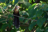 Scale-feathered Malkoha (Phaenicophaeus cumingi, endemic to the Philippines)   Habitat - Fairly common in forest, edge and second growth up to 2000 m.   Shooting info – frame grab from a footage filmed in natural habitat on November 24, 2018, along the banks of Bued River, La Union, Philippines, Sony RX10 IV + Uniqball UBH45 + Manfrotto 455B tripod,  600 mm (equiv.), f/8, ISO 100, 1/60 sec, manual exposure in available light, Steadyshot off, 4K/29.97p capture processed to 1200x800.