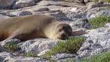 Sleeping Galapagos Sea Lion
