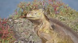 A Very Handsome Land Iguana