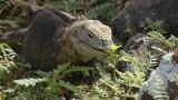 Land Iguana eating a flower