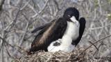 Female Great Frigatebird nesting with chick