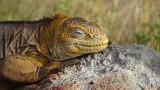Lounging Land Iguana