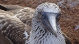 Blue Footed Booby Close Up