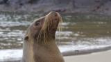 Punta Pitt Sea Lion