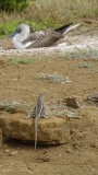 Lava Lizard and Blue Footed Booby