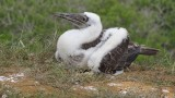 Blue Footed Booby Chick