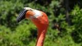 San Diego Zoo Flamingo