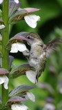 Anna's Hummingbird in Golden Gate Park