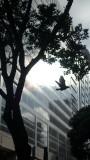 O'Farrell Street Pigeon