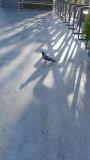 Trader Joe's Pigeon
