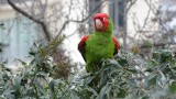 Christmas Day Russian Hill Parrot
