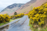 Gorse blooming along the roads and on the hills