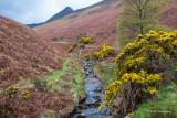 Gorse along the stream