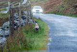 Pheasant Along the Road