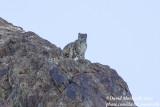 Snow Leopard (Panthera uncia)_Hemis NP (Ladakh)