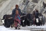 Local shepherd with domestic yaks_Hemis NP (Ladakh)