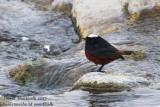 White-capped Water Redstart (Phoenicurus leucocephalus)_Leh (Ladakh)