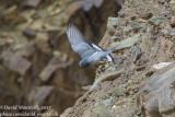 Hill Pigeon (Columba rupestris)_Hemis NP (Ladakh)